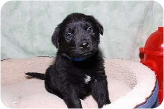 Labrador Retriever Mix Puppy for adoption in Bel Air, Maryland - Rowdy