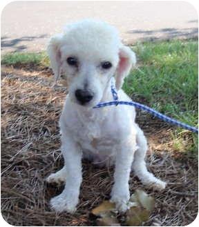 Poodle (Miniature) Dog for adoption in Fairmount, Georgia - Fletcher