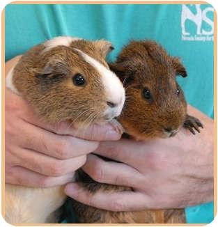 Guinea Pig for adoption in Las Vegas, Nevada - Melanie