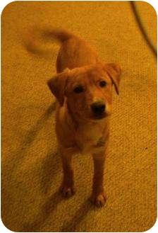 Labrador Retriever Mix Puppy for adoption in Roosevelt, Utah - Henry