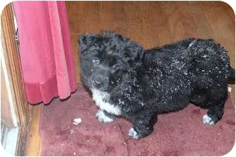 Portuguese Water Dog Puppy for adoption in Naperville, Illinois - Blackberry