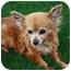Photo 2 - Papillon/Chihuahua Mix Dog for adoption in Encino, California - Sugar