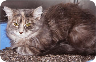 Domestic Longhair Cat for adoption in Chicago, Illinois - Paris