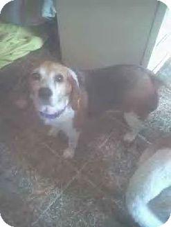Beagle Dog for adoption in Egg harbor Twp, New Jersey - Kasey Ann