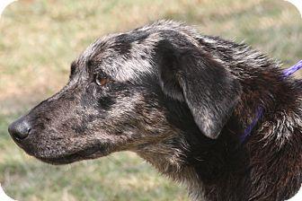 Catahoula Leopard Dog Mix Dog for adoption in McKinney, Texas - Trixie