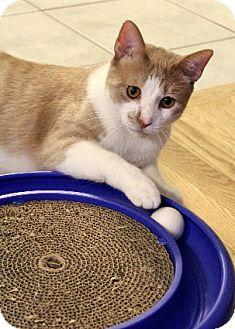 Domestic Shorthair Cat for adoption in Chicago, Illinois - Sundance