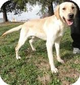 Labrador Retriever Mix Dog for adoption in Salem, Massachusetts - Carter