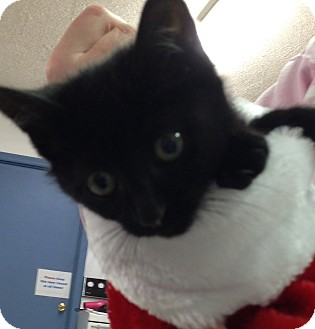 Domestic Shorthair Kitten for adoption in Aiken, South Carolina - Pepper