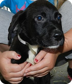 Labrador Retriever Mix Dog for adoption in Clinton, Maine - Monty