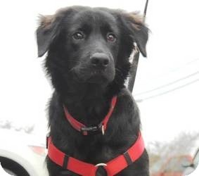 Border Collie/Australian Shepherd Mix Puppy for adoption in Marshfield, Massachusetts - Blake