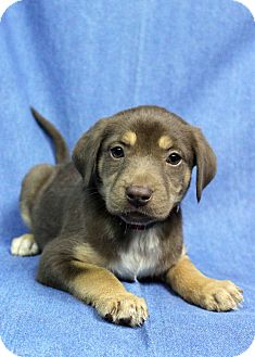 German Shepherd Dog Mix Puppy for adoption in Westminster, Colorado - Karoo