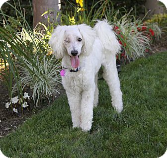 Poodle (Miniature)/Poodle (Standard) Mix Dog for adoption in Newport Beach, California - LLOYD