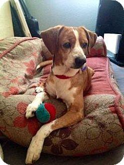 Beagle/Basenji Mix Dog for adoption in El Cajon, California - George-Courtesy Posting