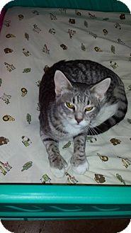 Polydactyl/Hemingway Cat for adoption in Joshua, Texas - Striper