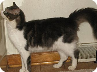 Domestic Longhair Cat for adoption in Bedford, Virginia - Ransom