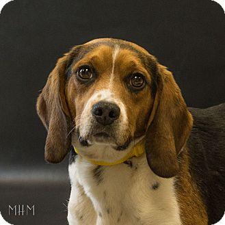 Beagle Dog for adoption in Naperville, Illinois - Pilot