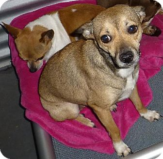Jack Russell Terrier/Chihuahua Mix Dog for adoption in Cedar Creek, Texas - Payton