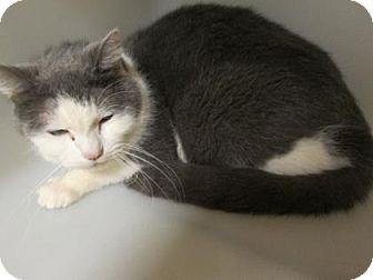 Domestic Shorthair Cat for adoption in Cumming, Georgia - Louie