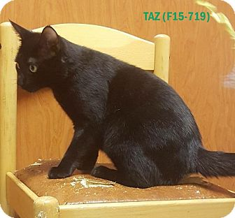 American Shorthair Kitten for adoption in Tiffin, Ohio - TAZ
