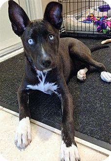 Husky/Labrador Retriever Mix Puppy for adoption in Schaumburg, Illinois - Lady