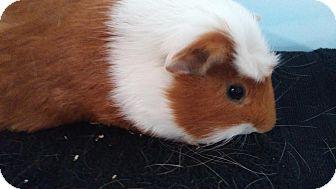 Guinea Pig for adoption in Aurora, Colorado - Cooper