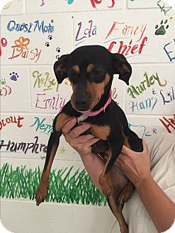 Miniature Pinscher Mix Dog for adoption in Lockhart, Texas - Penny