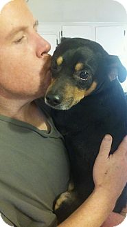Miniature Pinscher Mix Dog for adoption in Mount Kisco, New York - Taz