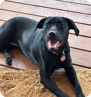 Labrador Retriever Mix Dog for adoption in Nashville, Tennessee - Delilah