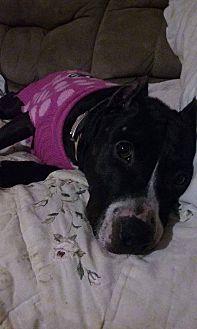 Boxer/Labrador Retriever Mix Dog for adoption in Fairfax, Virginia - CORINA