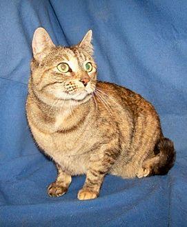 Domestic Shorthair Cat for adoption in Colorado Springs, Colorado - Gigi