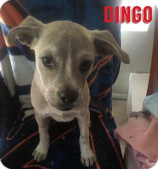 Mixed Breed (Medium) Mix Puppy for adoption in Mesa, Arizona - DINGO - 12WK MIX BREED