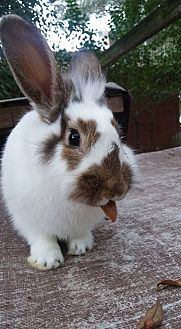 Lionhead Mix for adoption in Sullivan City, Texas - Clover