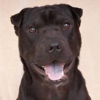 Adopt A Pet :: Little Bear - Chicago, IL