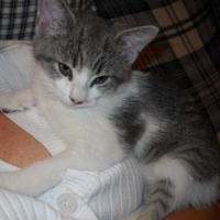 Domestic Shorthair/Domestic Shorthair Mix Kitten for adoption in Rochester Hills, Michigan - Calloway