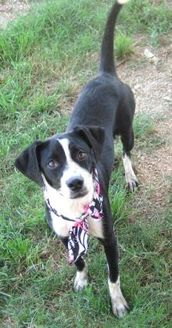 Labrador Retriever/Spaniel (Unknown Type) Mix Puppy for adoption in Pilot Point, Texas - MILEY