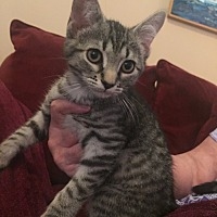 Adopt A Pet :: A..  Raj - Charlotte, NC