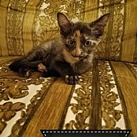 Adopt A Pet :: Ziggy @ Canton PetSmart Habitat on Michigan Ave - Taylor, MI