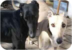 Greyhound Dog for adoption in Oswego, New York - Kelso