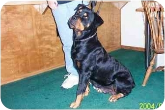 Rottweiler Dog for adoption in Alpine, California - Holly