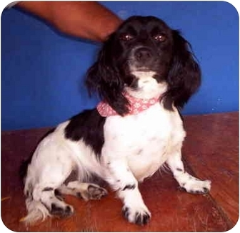 Dachshund/Cocker Spaniel Mix Dog for adoption in Albuquerque, New Mexico - Lulu