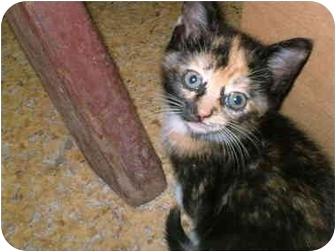 Calico Kitten for adoption in Warren, Ohio - SNICKERS