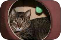 Domestic Shorthair Cat for adoption in Marietta, Georgia - Jack