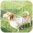 Photo 1 - Dachshund Dog for adoption in Garden Grove, California - Charlie