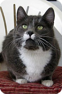 Domestic Shorthair Cat for adoption in Republic, Washington - Meander
