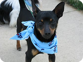 Miniature Pinscher/Chihuahua Mix Dog for adoption in Indianapolis, Indiana - Petey