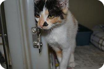 Domestic Shorthair Kitten for adoption in Edwardsville, Illinois - Sky