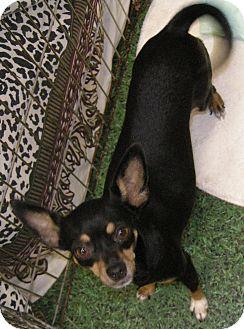 Miniature Pinscher Mix Dog for adoption in Las Vegas, Nevada - Bangle   ***