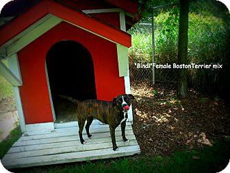 Boston Terrier Mix Dog for adoption in Gadsden, Alabama - Bindi