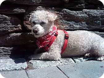Poodle (Toy or Tea Cup) Mix Dog for adoption in Essex Junction, Vermont - Charlie