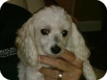 Maltese/Poodle (Miniature) Mix Dog for adoption in Marietta, Georgia - Lady